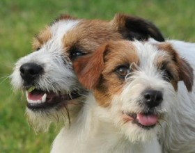 Jack russel terrier comunicato importante kennel club roma for Jack russel pelo lungo